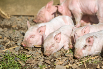 young cute piglets on farm