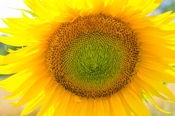 Sunflower in full bloom. Sunflower in a garden
