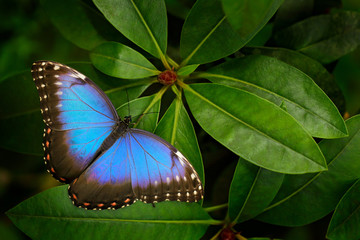 Tropic nature in Costa Rica. Blue butterfly, Morpho peleides, sitting on green leaves. Big butterfly in forest. Dark green vegetation.