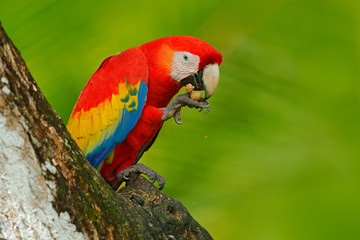 Parrot Scarlet Macaw, Ara macao, in green tropical forest with nut, Costa Rica, Wildlife scene from tropic nature. Red bird in the forest. Parrot in the green jungle habitat. Red parrot near hole.