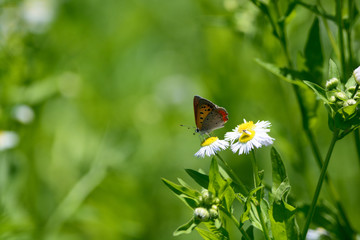 A small copper butterfly on the flower.