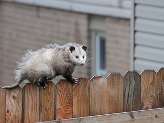 Opossum Walks Across a Fence
