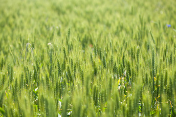 wheat field in sunny day. green wheat. Wheat field and countryside. fresh wheat