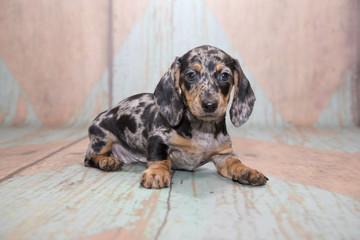 Dachshund on patterned background