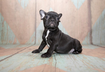 French Bulldog on patterned background