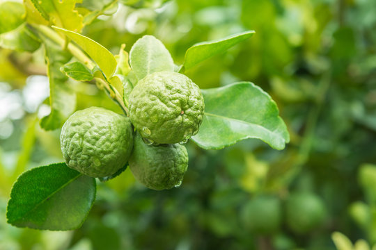 close up of bergamot fruit on tree, herbal plant at home garden with blur background