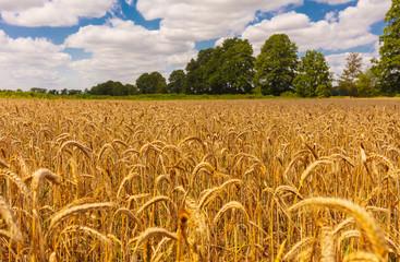 Kornfeld vor der Ernte / golden wheat / Ackerland Ackerbau Ernte  Fotoväggar