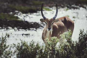Poster Antelope Antilope cobe lechwe