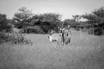 Two Gemsbok standing in the grass.