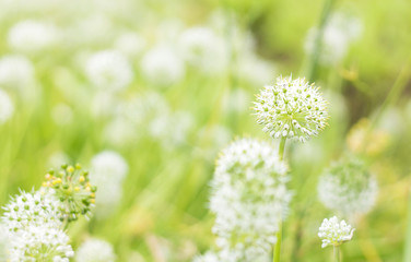 White pollen of grass flowers in the morning with fresh and bright air.