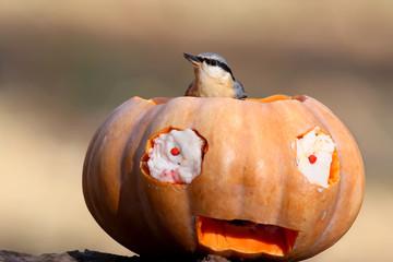 European Nuthatch on Halloween Pumpkin close-up.