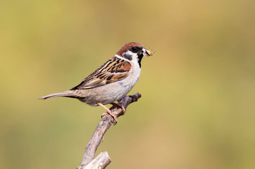 Mountain sparrow with prey for chicks