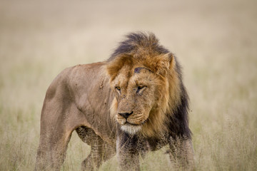 Foto op Canvas Leeuw Big male Lion standing in the high grass.