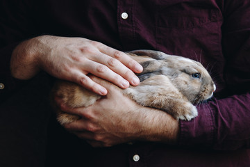 adorable lopsided bunny in hands. cute pet rabbit being cuddled by his owner. concept for animal love. love your pet. don't buy animals, adopt them.