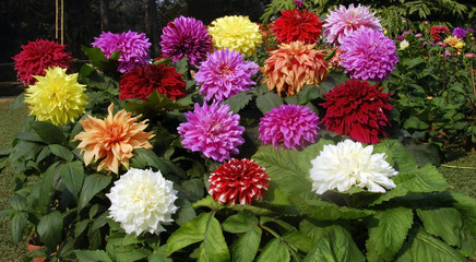 dahlia flower cluster