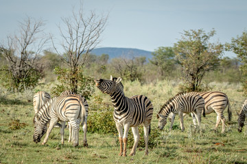 Herd of Zebras standing in the grass.