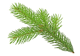 Branch of fir-tree isolated on a white background