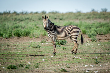 Zebra looking at the camera in Etosha.