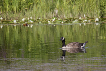 Canada goose on pond