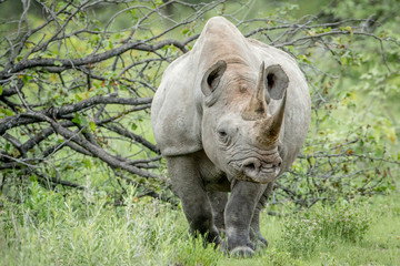 Black rhino starring at the camera.