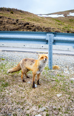 Red Fox. Fox. hitch-hike Fox. Fox on the road