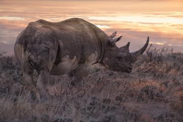 rhino at sunrise