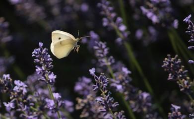 Purple and White Delicate Dance