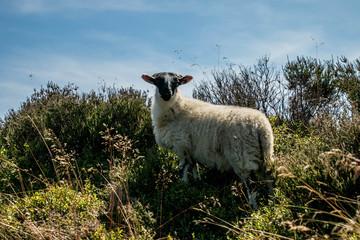 Sheep in countryside setting