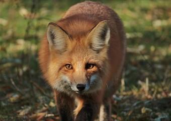Red Fox Stalk