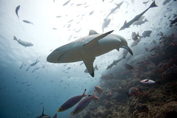 grey reef shark, carcharhinus amblyrhynchos,Beqa lagoon, Fiji