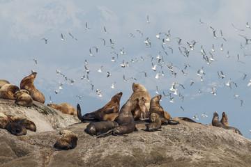 Steller's Sea Lions relaxing