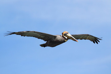 Fotoväggar - Brown Pelican In Flight