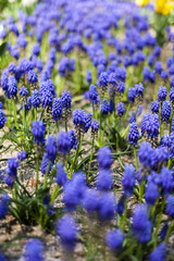 lavender flower in the garden