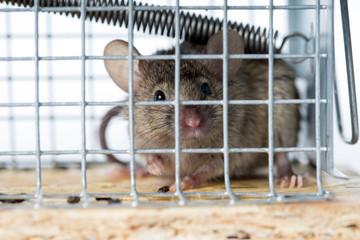 Maus / Maus gefangen in einer Mausefalle