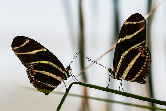 Pair of Zebra Longwing butterflies, facing each other, both standing on the same leaf of a desert succulent in Arizona's Sonoran desert.