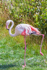 Pink flamingo stands on one leg