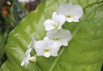 Beautiful Orchids on green leaf background.
