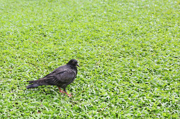 pigeon on the green grass.