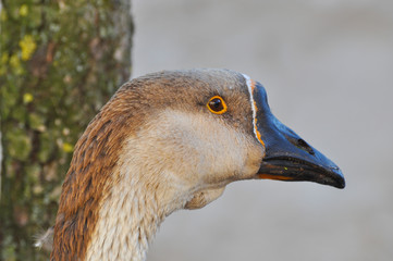 Domestic Goose on a farm. Close up image of a goose head