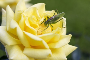 Green grasshopper sitting on on the yellow rose