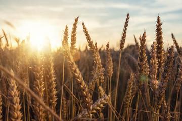 Fotoväggar - Goldene Ähren in der Abendsonne