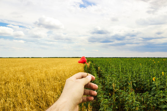 Close-up of hands and flower of a wild poppy, field of sunflowers and wheat in the background.