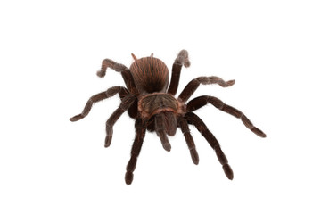 Brachypelma vagans spider Isolated