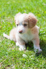 Funny puppy creamy color sitting on the green grass. First walk
