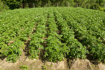 Potatos Plants Growing In Vegetable Garden At Sunny Summer Season In Village Close Up.