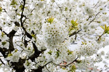 Color outdoor image of a cherry tree full of white blossoms on a sunny bright clear spring day in landscape format
