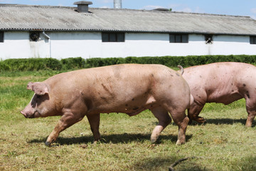 Group of pigs farming raising breeding in animal farm