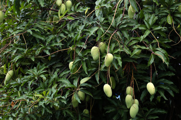 Mangoes on tree waiting for harvest to sale.