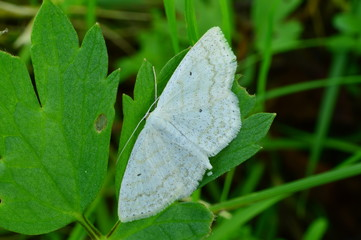 Summer clear morning white butterfly on a green leaf in a thicket of grass
