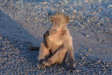 Monkey - Baby baboon